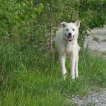 Husky Birch