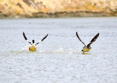 two ducks taking off from the water