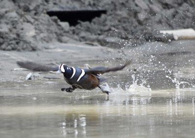 fullsizeoutput_7f6 yukon_wildlife_harlequin_duck