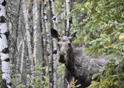Moose can be frequently spotted on our Canoe and Hiking Trips