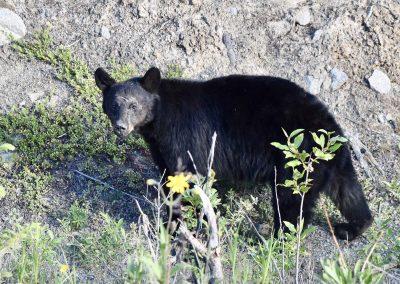 Black Bear along the Alaska Highway in the Yukon
