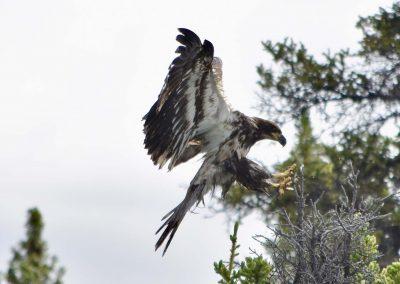 fullsizeoutput_93e-yukon-eagle