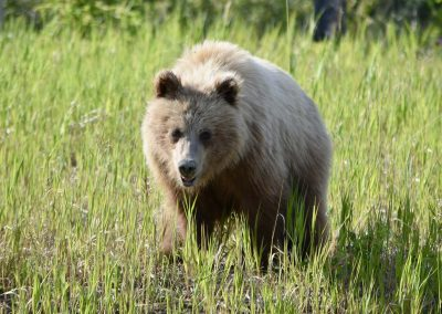 fullsizeoutput_9d4-yukon-grizzly-bear