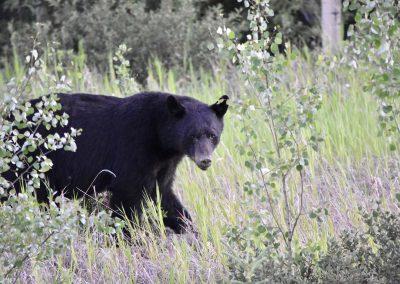 fullsizeoutput_9fa-black-bear-yukon