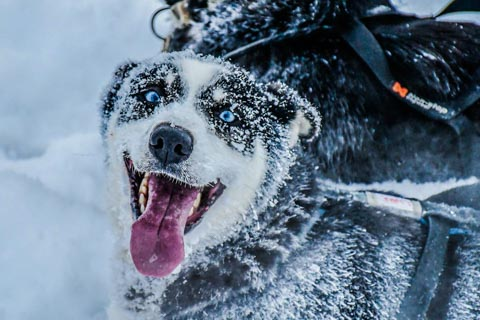 smiling dog with blue eyes and snow covered  face